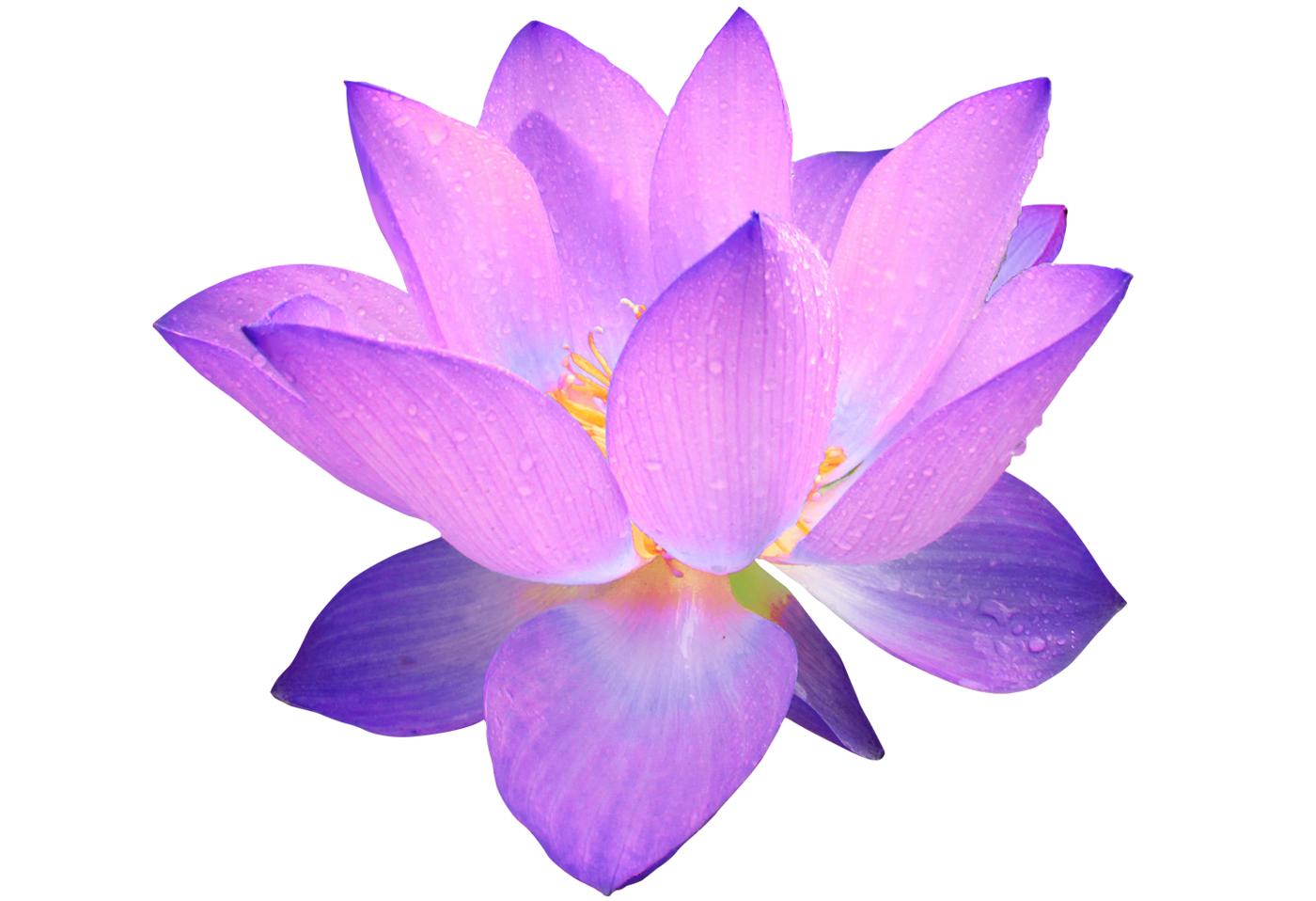 Photo 114537883 Purple Lotus Flower Png Mg7otm Clipart Flowers