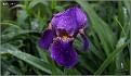 Iris sp. (tintin 06)