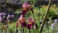 Iris germanica x