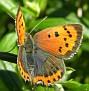 Lycaena phlaeas - Ildgullvinge