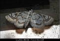Nymphula nitidulata - Porselensdammott