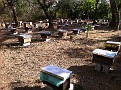 A Bee Yard in Alotenango, Guatemala. This Apiary has 250 very active hives in production. They manage 1200 total.  Observing and assisting with Hive Inspections. Some are Africanized, but they continuously kill that queen and introduce a European. General