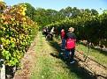 Grape Picking at Natali's Vineyard 10-21-09 (26)