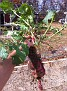 """""""A Monster Radish"""".   I found this radish growing in my compost pile!!!  Some Compost ;-)"""