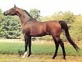 ANDREANOV #154575 (Negatraz x Andorra) bay stallion