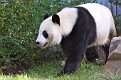 Pandas are the big new attraction