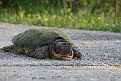 Snapping Turtle #2