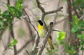 Yellowthroat #5