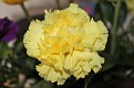 Yummy in a yellow carnation!