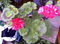 Pelargonium sp