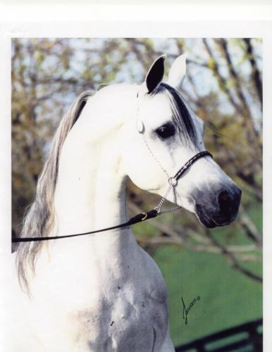 IBN SAFINAZ (SWIDAN) #247122 (Seef x Safinaz, by Alaa'El Din) 1981 grey stallion imported to the US from the EAO 1982 by Hopeland Arabians