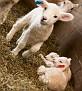 S12 Lambs-7
