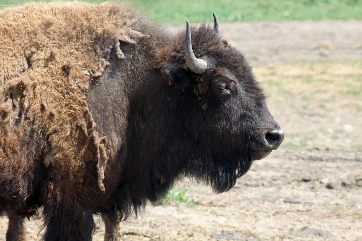 Bison #25