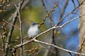 Gnatcatcher #3