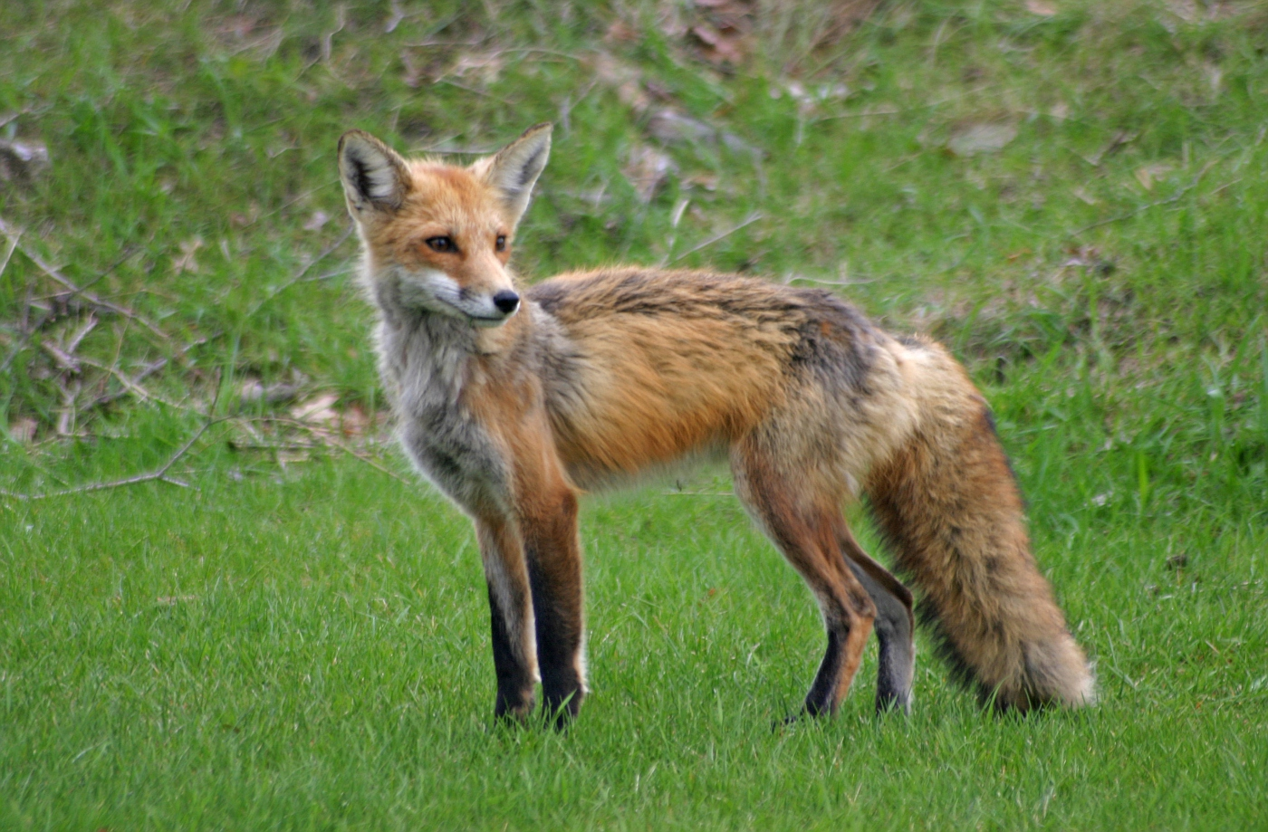 Red Fox Series #29