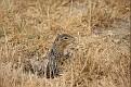 Thirteen Lined Ground Squirrel #3