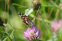Painted Lady on Clover #4