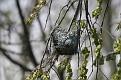 Oriole Nest