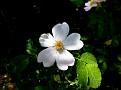 Rosa micrantha subsp  chionistrae (4)