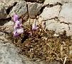 cyclamen graecum (15)