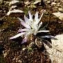 Colchicum atticum Merendera attica (4)