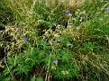 Geranium pratense (4)