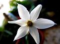 Narcissus serotinus (8)