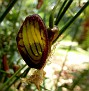 aristolochia (13)