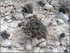Limonium ocymifolium