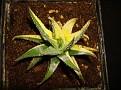 Haworthia attenuata forma variegata 1
