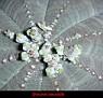Euphorbia obesa (4)