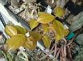 Pereskia aculeata var  godseffiana (15)