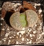 Lithops marmorata C305