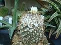 Turbinicarpus klinkerianus