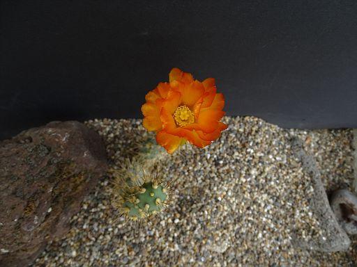 Pterocactus kuntzii San Luis