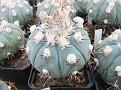 0043 Echinocactus horizontalonius