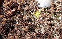Petrosedum prunatum