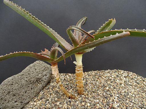 Aloe rosea