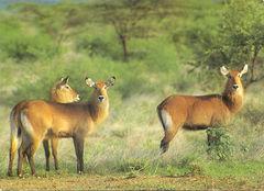 Ethiopia - WATERBUCK NA