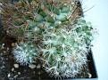 Turbinicarpus saueri ssp nelisae
