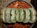 Haworthia truncata Japan