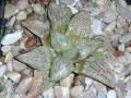 Haworthia picta cv  Japan