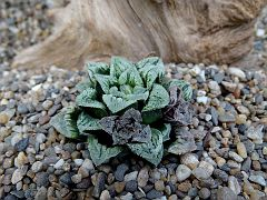 Haworthia pygmaea x H. magnifica v. Major, Middle of Carcia Pass