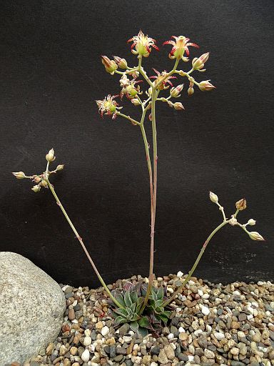 Graptopetalun filiferum