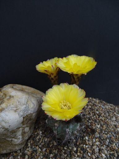 Acanthocalycium glaucum