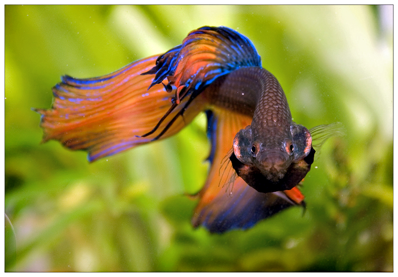 5 reasons you need a betta fish for Betta fish personality