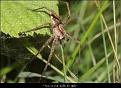 Pisaura mirabilis female