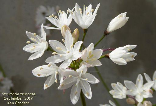Strumaria truncata