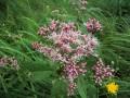 Spotted Joe-Pye Weed