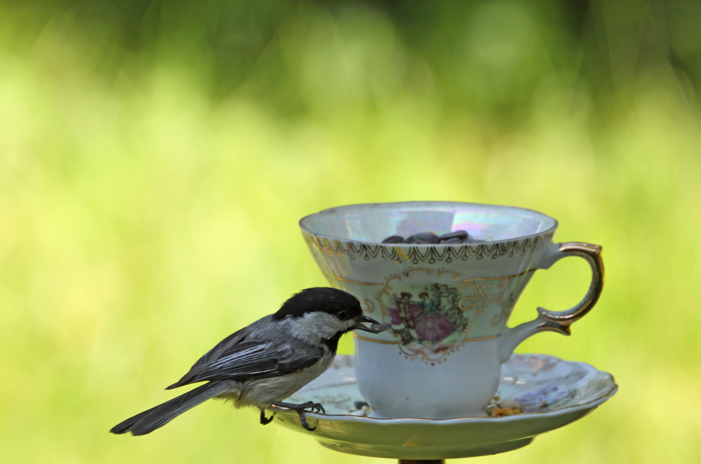 Chickadee at Teacup #6